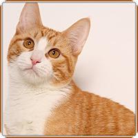 Adopt A Pet :: Jack O'Lantern - Glendale, AZ