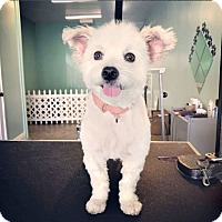 Adopt A Pet :: Rose is a sweetheart! - Redondo Beach, CA