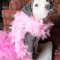 Boxer/Labrador Retriever Mix Dog for adoption in Waterbury, Connecticut - LULA