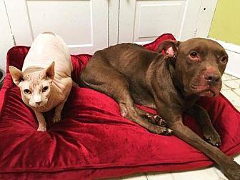 Pit Bull Terrier Mix Dog for adoption in New York, New York - Hercules