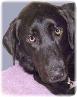 Labrador Retriever Mix Dog for adoption in Grass Valley, California - Jackie