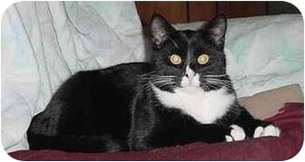 Domestic Mediumhair Cat for adoption in Austin, Minnesota - Festus