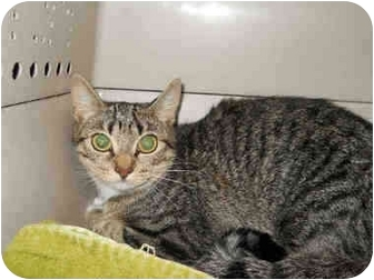 Domestic Shorthair Cat for adoption in San Clemente, California - TALLY