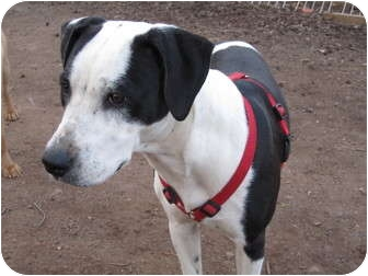 Dalmatian/Labrador Retriever Mix Dog for adoption in Rahway, New Jersey - Charlotte