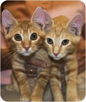 Domestic Shorthair Kitten for adoption in New Port Richey, Florida - Kyle & Casey