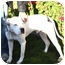 Photo 3 - American Bulldog/American Pit Bull Terrier Mix Dog for adoption in Berkeley, California - Donner