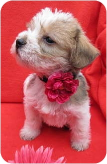 Poodle (Miniature)/Terrier (Unknown Type, Small) Mix Puppy for adoption in Irvine, California - Chanel
