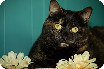 Domestic Shorthair Cat for adoption in Dover, Ohio - Annie