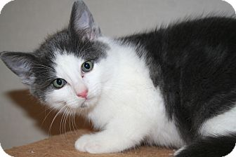 Domestic Mediumhair Kitten for adoption in Edmonton, Alberta - twix