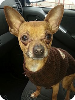 Chihuahua Dog for adoption in Chicago, Illinois - Amigo (ADOPTED!)