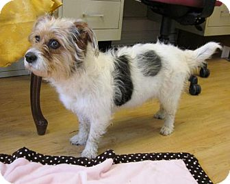 Havanese/Jack Russell Terrier Mix Dog for adoption in High Point, North Carolina - Katie