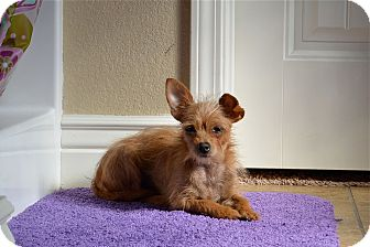 Chihuahua/Terrier (Unknown Type, Small) Mix Dog for adoption in Ft. Collins, Colorado - Angel