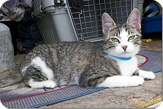 Domestic Shorthair Cat for adoption in Sullivan, Missouri - Gidget