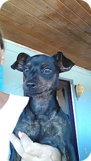 Chihuahua/Miniature Pinscher Mix Puppy for adoption in Homestead, Florida - Minnie
