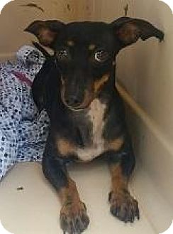 Dachshund/Chihuahua Mix Dog for adoption in Bunnell, Florida - Spumoni