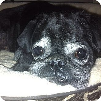 Pug Dog for adoption in Grapevine, Texas - Giuseppe