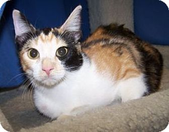 Calico Cat for adoption in Colorado Springs, Colorado - K-Calico-May
