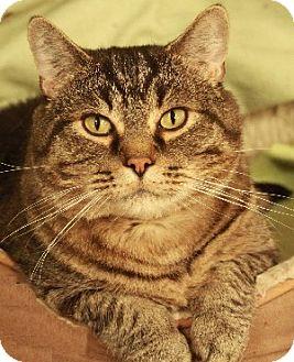 Domestic Shorthair Cat for adoption in Savannah, Missouri - Jameson