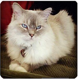 Ragdoll Cat for adoption in Gilbert, Arizona - Gepetto