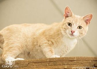Domestic Shorthair Cat for adoption in Columbus, Ohio - LuLu