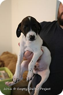 Pointer Mix Puppy for adoption in Manassas, Virginia - Dracula
