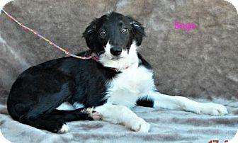Border Collie Mix Dog for adoption in Yreka, California - Sage