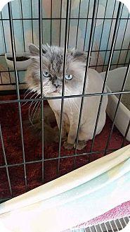 Himalayan Cat for adoption in Fallbrook, California - Boo