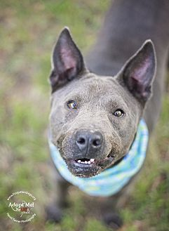 Staffordshire Bull Terrier/Cattle Dog Mix Dog for adoption in Houston, Texas - Jasper
