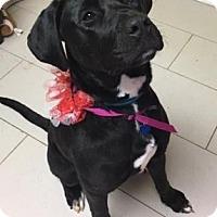 Labrador Retriever/Mixed Breed (Medium) Mix Dog for adoption in Philadelphia, Pennsylvania - Sabrina
