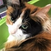 Domestic Mediumhair Cat for adoption in Medina, Ohio - Calla Lily