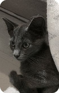 Russian Blue Cat for adoption in Horseshoe Bay, Texas - GtreyBo