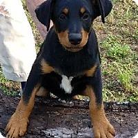 Adopt A Pet :: Adonis - Burlington, VT