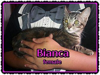 Domestic Shorthair Kitten for adoption in Richmond, California - Bianca