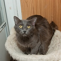 Russian Blue Cat for adoption in Chicago, Illinois - Miss Kitty