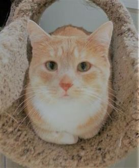 Domestic Shorthair/Domestic Shorthair Mix Cat for adoption in Hastings, Minnesota - Tanner