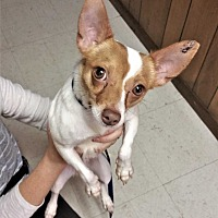 Chihuahua/Parson Russell Terrier Mix Puppy for adoption in Tavares, Florida - Dutch