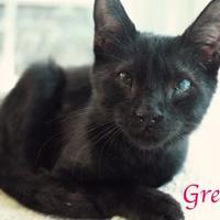 Adopt A Pet :: Gremlin - Bradenton, FL