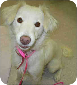 Golden Retriever Mix Dog for adoption in San Clemente, California - JOVIE