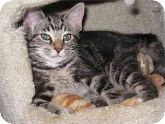Domestic Shorthair Kitten for adoption in Troy, Michigan - Oopsie