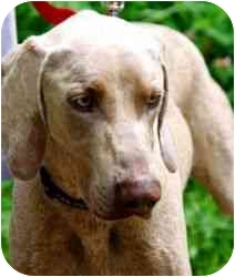 Weimaraner Dog for adoption in Attica, New York - Smokey