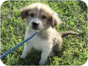 Australian Shepherd Mix Puppy for adoption in New Fairfield, Connecticut - Cash