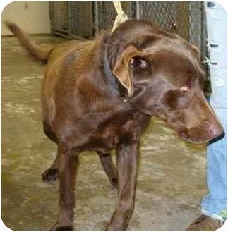 Labrador Retriever Dog for adoption in Mt. Vernon, Illinois - Big Tig