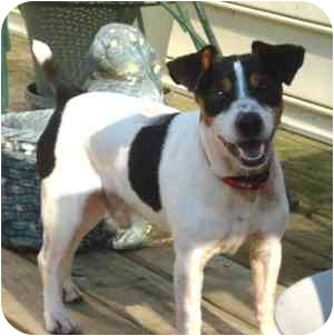 Jack Russell Terrier Mix Dog for adoption in Thomasville, North Carolina - Willie