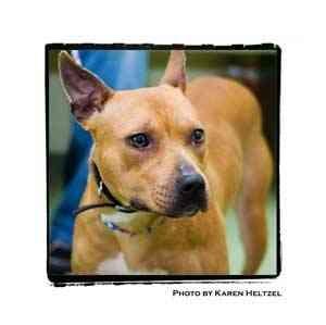 Pit Bull Terrier Dog for adoption in Warren, Pennsylvania - Pumpkin