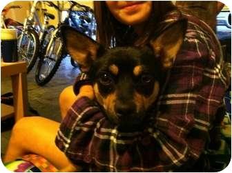 Chihuahua/Corgi Mix Dog for adoption in Tumwater, Washington - Buster