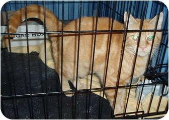 Domestic Shorthair Cat for adoption in Westfield, Massachusetts - Mrs. Garfield
