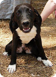 Beagle Mix Dog for adoption in Beacon, New York - Goober
