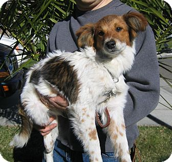Australian Shepherd/Collie Mix Dog for adoption in Tracy, California - Corey