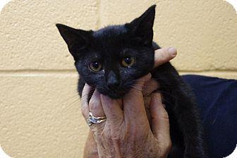 Domestic Shorthair Kitten for adoption in Elyria, Ohio - Ashland