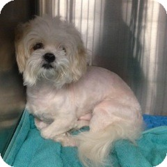 Shih Tzu/Maltese Mix Dog for adoption in Ardsley, New York - Mickey